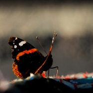 ©P.Romero: Red Admiral, Hampshire, UK (2013)