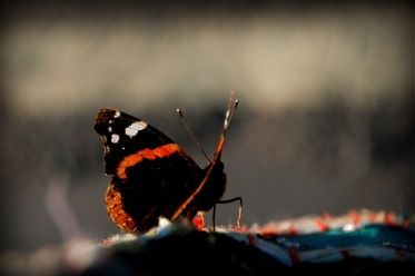 ©P.Romero: Red Admiral, Hampshire, UK (2013)