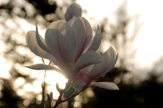 ©P.Romero: Japanese Magnolia. Winchester, UK (2015)