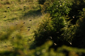© P. Romero: A charm of finches in flight. St. Catherine's Hill, Winchester, UK (2016)