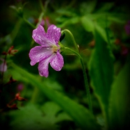 ©P.Romero: Marsh Cranesbill. Hampshire, UK (2015)