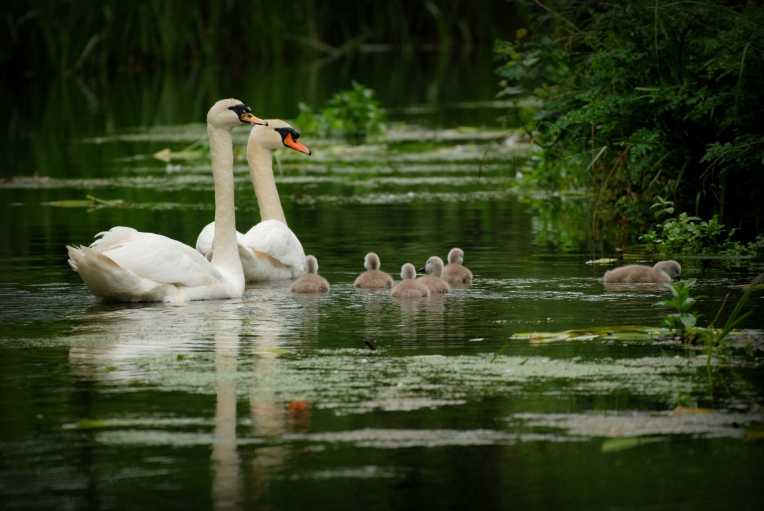 mute-swans-i-2016