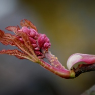 ©P.Romero: Red horse-chestnut in bloom, Hampshire, UK (2011)