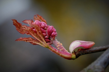 ©P.Romero: Red horse-chestnut in bloom, Hampshire, UK (2011)