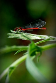 ©P.Romero: A Large Red Damselfly, Hampshire UK (2016)