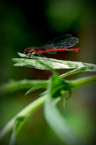 ©P.Romero: A Large Red Damselfly, Hampshire UK (2016)