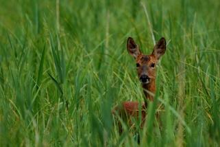 ©P.Romero: Deer, Winnall Moors, Winchester, UK (2016)