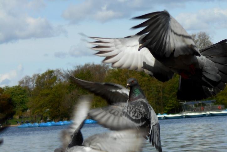 ©P.Romero: Feral Pigeons. London, UK (2016)