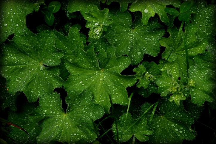 ©P.Romero: Lady's mantle foliage after the rain (2015).
