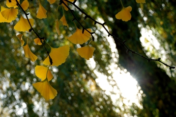 ©P.Romero: Ginkgo biloba tree, Winchester, UK (2015)