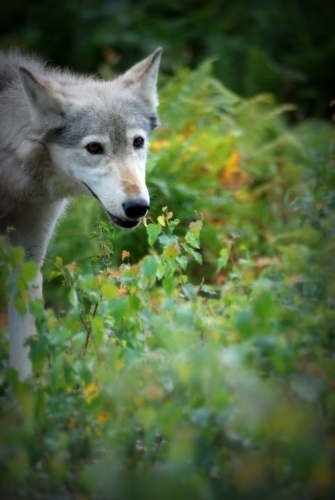 ©P.Romero: Dakota, the Beta Female Wolf. Reading, UK (2009)