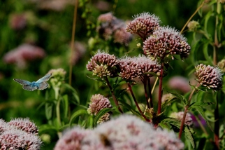 ©P.Romero: A common blue butterfly flying over wild marjoram (2014)