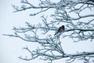 ©P.Romero: Woodpigeon enduring the snowy weather. Winchester, UK (2010)