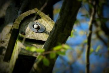 ©P.Romero: Blue tit in garden nestbox, Winchester, UK (2017)