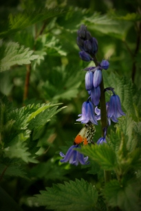 ©P.Romero: Male orange-tip butterfly on Bluebells. Itchen Way, Hampshire (2017)