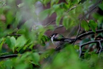 ©P.Romero: Long-tailed tit, Hampshire, UK (2016)
