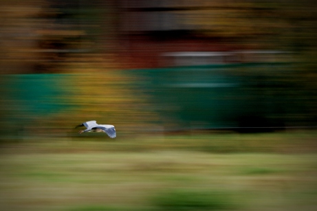 ©P.Romero: A grey heron in flight, Hampshire, UK (2016)
