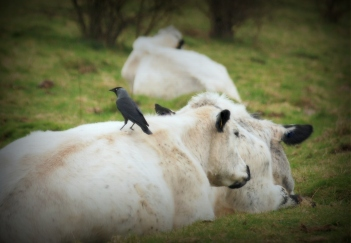 """©P.Romero: Jackdaw & Cow """"Friendship"""": Gathering nesting materials from the back of a generous and hairy friend. (Hampshire, UK, 2014)"""