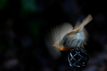 ©P.Romero: A robin in flight, Hampshire, UK (2016)