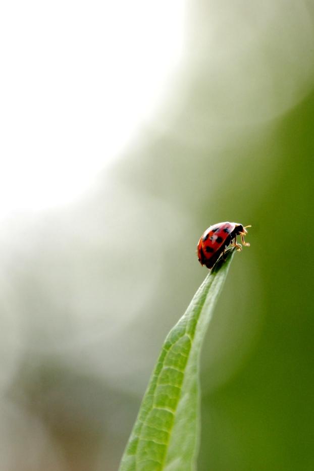 ©P.Romero: Harlequin Ladybird, Hampshire, UK (2017)