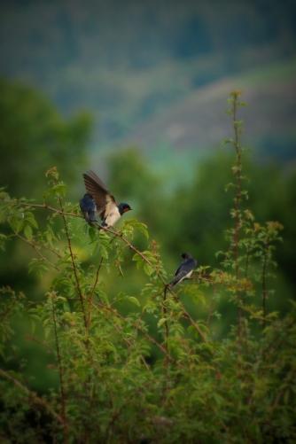©P.Romero: Swallows I. Keswick, Lake District, UK (2017)