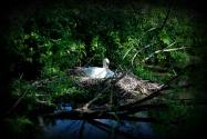 ©P.Romero: Mute swan nesting, Itchen River, UK (2015)