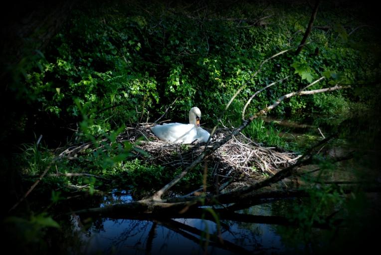 Mute Swan nesting II