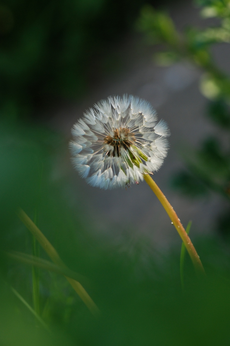 Dandelion May 2017