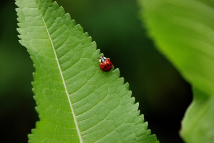 ©P.Romero: Ladybird on teasel leaf, Winchester, UK (2017)