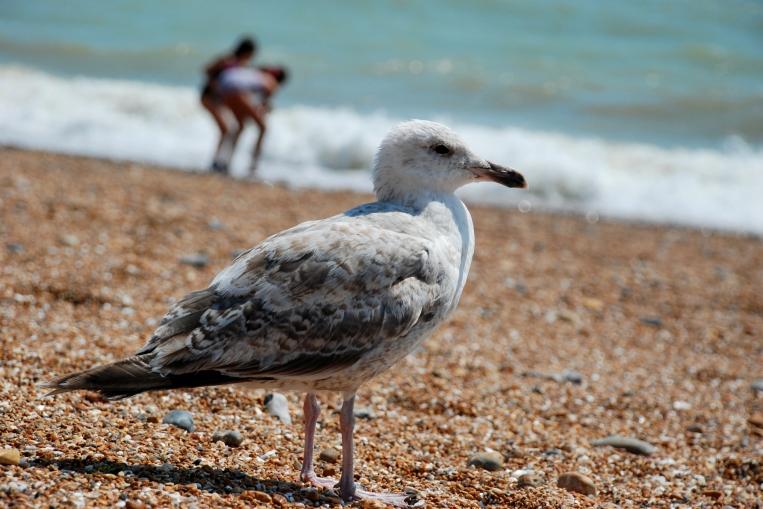 Juvenile Hearing gull