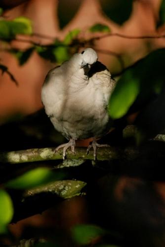 ©P.Romero: Collared Dove, Winchester, UK (2016)
