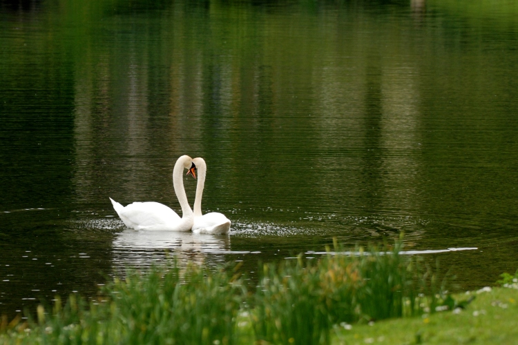 ©P.Romero: Mute Swan Courtship. Stourhead House, Wiltshire, UK (2016)