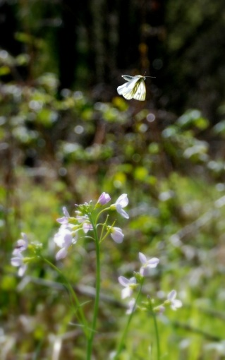 ©P.Romero: Green-veined white butterfly. Hampshire, UK (2012)