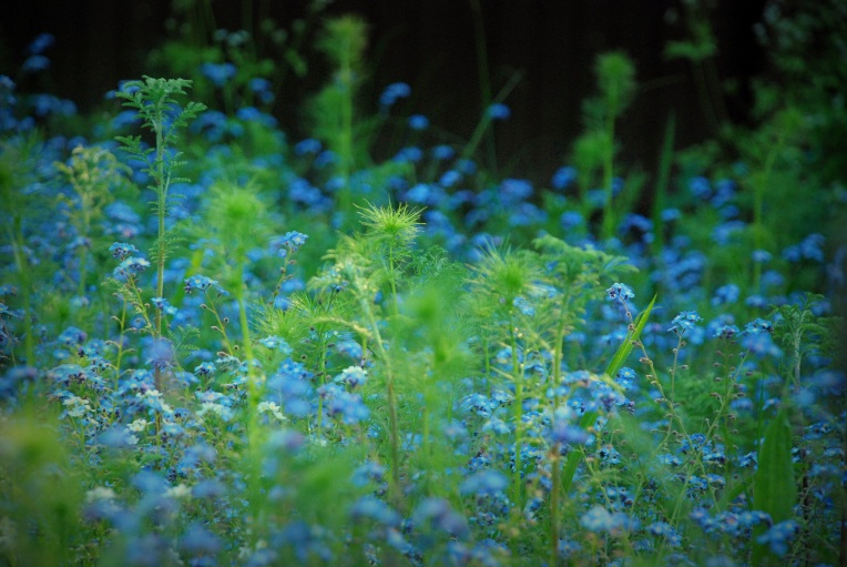 ©P.Romero: Wild meadow, predominantly, Forget-me-not and Love-in-a-mist flowers. (Winchester, 2012)