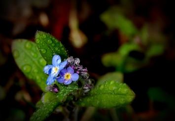 ©P.Romero: Raindrops on forget-me-not. Hampshire, UK (2015)