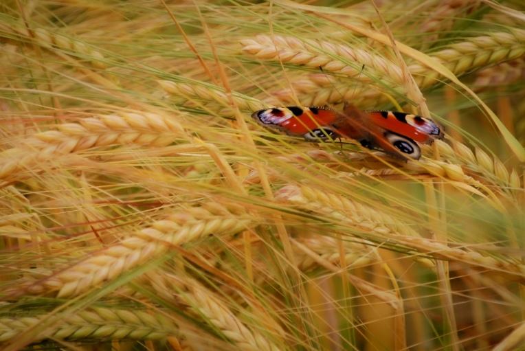 peacock wheat 2