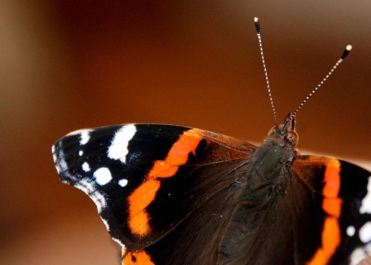Red Admiral 2020